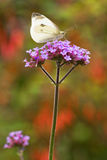 Butterfly Large white on Verbena flowers Stock Photography