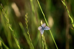 A butterfly with large wings (Phengaris arion). A butterfly with large wings on a grass Royalty Free Stock Photos