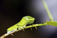 Butterfly Larva Royalty Free Stock Photography