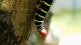 The butterfly Larva close up. Butterfly Larva in the tree branch close up stock video
