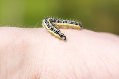 Butterfly larva crawl on human hand Royalty Free Stock Photo
