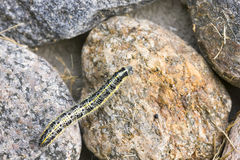 Butterfly larva crawl on a rock Royalty Free Stock Images