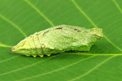 Butterfly larva on a green leaf. Royalty Free Stock Photos