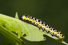 Butterfly larva in a leaf Stock Images