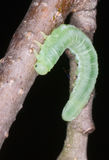 A butterfly larva Stock Image