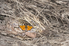 Butterfly at last year's grass Stock Photo