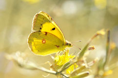 Butterfly. (Lat. Colias croceus) sitting on a flower Stock Photography