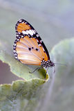 Butterfly lateral view. Lateral view of a resting orange butterfly royalty free stock photos