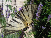 Swallowtail butterfly on lavander flower Royalty Free Stock Photography