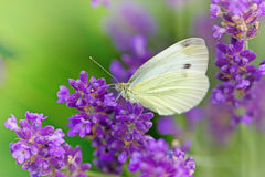 Butterfly on lavender Stock Photography