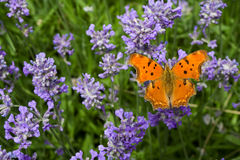 Butterfly on lavender. Orange butterfly sitting on lavender (lat. Lavandula officinalis) flower Stock Photos