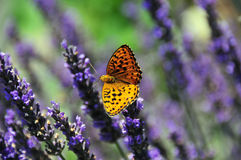 Butterfly on Lavender. Butterfly (pearl bordered fritillary) on Lavender. The latin name is clossiana euphrosyne. It's northern boundary passes through central Stock Photography