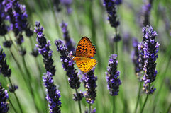 Butterfly on Lavender. Pearl bordered fritillary  butterfly on lavender. The latin name is clossiana euphrosyne. This speciment was seen in southern switzerland Stock Photos