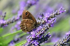 Butterfly on Lavender. Large Ringlet Butterfly sucking pollen from Lavendar. the latin name is Erebia Euryale. This one was photographed in Switzerland and is Stock Photography