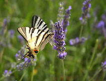 Butterfly on a lavender Royalty Free Stock Image