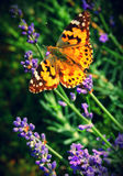 Butterfly on lavender Royalty Free Stock Image