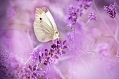 Butterfly on lavender - beautiful scene Stock Photos