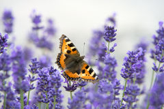 Monarch butterfly resting on flowering lavender with wings wide open