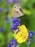 Butterfly on lavender blossom. Yellow poppy in background Royalty Free Stock Photography