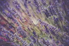Butterfly at Lavender Bush Stock Photos
