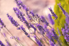 Butterfly at Lavender Bush Stock Photo