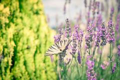Butterfly at Lavender Bush Royalty Free Stock Photos