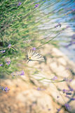 Butterfly at Lavender Bush Royalty Free Stock Image