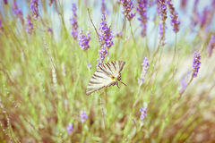 Butterfly at Lavender Bush Stock Photography