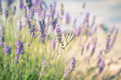 Butterfly at Lavender Bush Stock Image