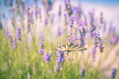 Butterfly at Lavender Bush Stock Images
