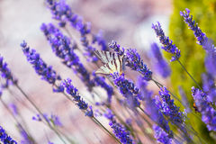 Butterfly at Lavender Bush Royalty Free Stock Images