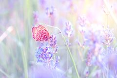 Butterfly on the lavender. Closeup in bright, pale colors Stock Images