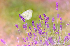 Butterfly on lavender -closeup Royalty Free Stock Photo