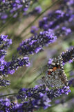 Butterfly in lavender. Colorfoul butterfly in the garden royalty free stock photos