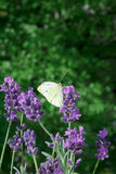 Butterfly lavender copy space background Stock Photos