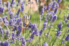 Butterfly in lavender field Stock Image