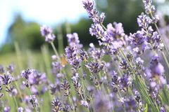 A butterfly in a lavender field in French Provence.  stock photos