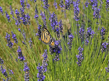 Butterfly in the lavender field Royalty Free Stock Photos