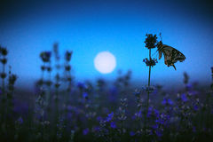 Butterfly in lavender field and moon light Royalty Free Stock Photos