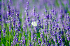 Butterfly in a lavender field Stock Photo