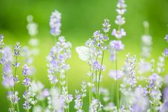 Butterfly in lavender field royalty free stock photos