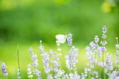 Butterfly in lavender field stock photography