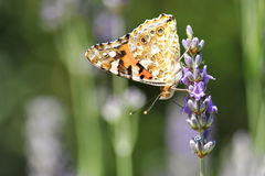 Butterfly on lavender flower Royalty Free Stock Photography