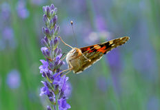 Butterfly on a lavender flower Stock Image
