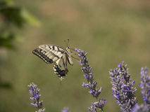 Butterfly and lavender flower Royalty Free Stock Photo