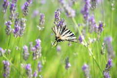 Butterfly on lavender flower Royalty Free Stock Images