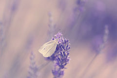 Butterfly on lavender flower Stock Images