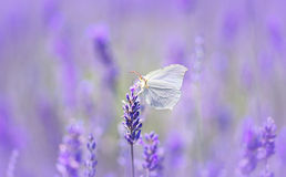 Butterfly on lavender flower Royalty Free Stock Image