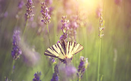 Butterfly on lavender flower Stock Photography