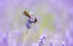 Butterfly on lavender flower Stock Image